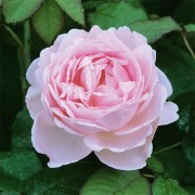 Роза Scepter'd Isle