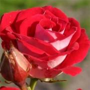 Роза Schöne Koblenzerin