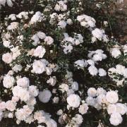 Роза Sea Foam