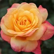 Роза Speelwark