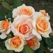 Роза Sweet Honey
