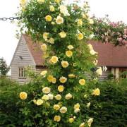Роза The Pilgrim (плетистая)