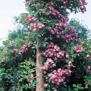 Роза Veilchenblau (плетистая)