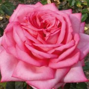 Роза Wedding Bells