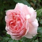Роза Wildeve