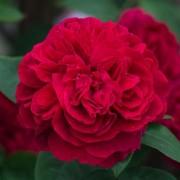 Роза L.D. Braithwaite