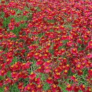 Кореопсис Ruby Red