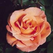 Роза Schoolgirl
