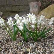 Пролеска Bifolia Alba