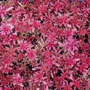Седум Coral Carpet