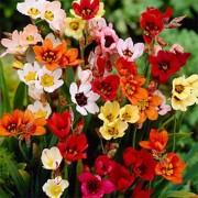 Спараксис Tricolor Mix