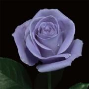 Роза Suntory Blue Rose Applause
