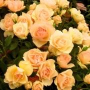 Роза Susan Daniel