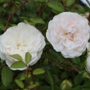Роза Swany