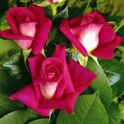 Роза Acapella