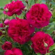 Роза Thomas А' Becket