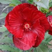 Гибискус садовый Cranberry Crush