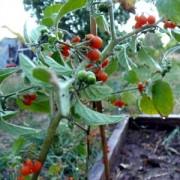 Томат Orange Berry