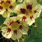 Настурция Orchid Cream