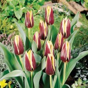 Тюльпан Gavota 50