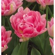 Тюльпан Peach Blossom