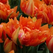 Тюльпан Willem Van Oranje