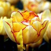 Тюльпан Aquilla