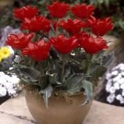 Тюльпан Double Red Riding Hood 50