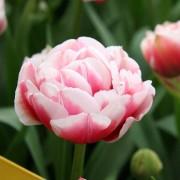 Тюльпан Gerbrand Kieft