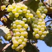 Виноград  Ркацетели