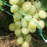 Виноград Княгиня Ольга