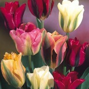 Тюльпаны Зеленоцветные Микс 100