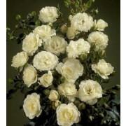 Роза Waltz