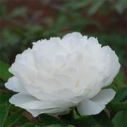 Пион White Snow Bai Xue Gong Zhu древовидный