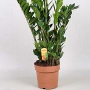 Замиокулькас Zamilifolia