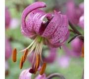 Мартагон лилии