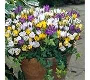 Ботанические крокусы