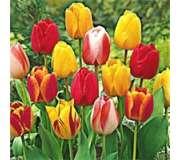 Тюльпаны Дарвина