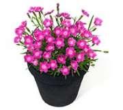 Семена двулетних цветов