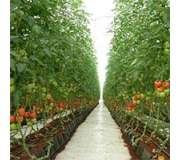 Овощи для выращивания в теплицах
