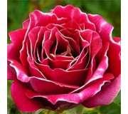 Парковые розы