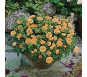 Бордюрные (патио) розы