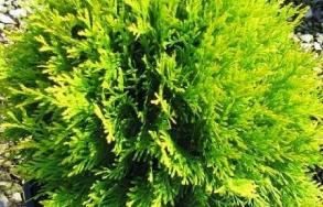 Саджанці дерев Купити