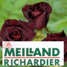 Троянди Мейланд Купити