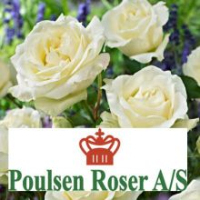 Троянди Поульсен Купити