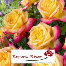 Троянди Ропару Купити