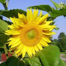 Світлолюбні рослини Купити