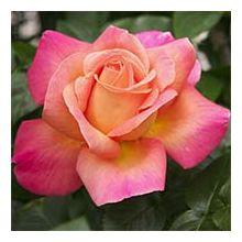 Американські троянди Купити