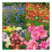 Однорічні та багаторічні квіти, квітнучі в рік посіву Купити