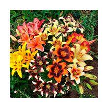 Азиатские лилии гибриды Купить
